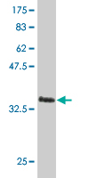 WB - LHX4 Antibody (monoclonal) (M06) AT2707a