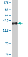 WB - MEF2A Antibody (monoclonal) (M08) AT2834a