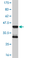 WB - MEF2D Antibody (monoclonal) (M02) AT2838a