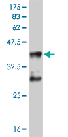 WB - MEF2D Antibody (monoclonal) (M04) AT2839a