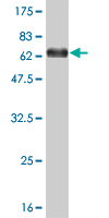 WB - MEIS2 Antibody (monoclonal) (M03) AT2842a