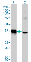 WB - MEOX2 Antibody (monoclonal) (M03) AT2846a