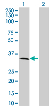 WB - MPPED2 Antibody (monoclonal) (M01A) AT2896a