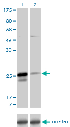 WB - MS4A7 Antibody (monoclonal) (M06) AT2910a