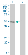 WB - NFE2 Antibody (monoclonal) (M01) AT3029a