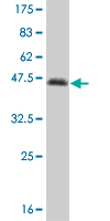 WB - NFIC Antibody (monoclonal) (M03) AT3034a