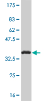 WB - NHLH2 Antibody (monoclonal) (M05) AT3047a