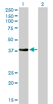 WB - NKX2-5 Antibody (monoclonal) (M01) AT3056a