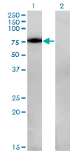 WB - NR4A2 Antibody (monoclonal) (M08) AT3108a