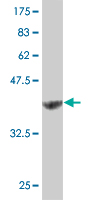 WB - NUDT1 Antibody (monoclonal) (M02) AT3126a