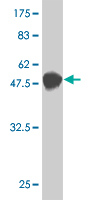 WB - NUDT21 Antibody (monoclonal) (M12) AT3130a