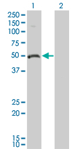 WB - ODC1 Antibody (monoclonal) (M01) AT3145a