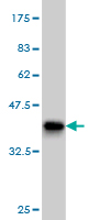WB - PPIE Antibody (monoclonal) (M02) AT3401a