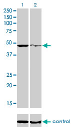 WB - PPOX Antibody (monoclonal) (M01) AT3407a