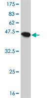 WB - PPP1R14A Antibody (monoclonal) (M01) AT3408a