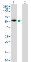 WB - PPP2R2C Antibody (monoclonal) (M01) AT3413a