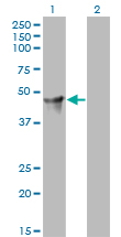 WB - PSCD2 Antibody (monoclonal) (M02) AT3450a