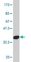 WB - PTF1A Antibody (monoclonal) (M09) AT3482a