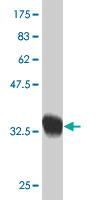 WB - SCAND2 Antibody (monoclonal) (M02) AT3780a
