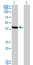WB - SMS Antibody (monoclonal) (M01) AT3964a