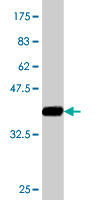 WB - SPG3A Antibody (monoclonal) (M10) AT4020a