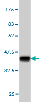 WB - STAG2 Antibody (monoclonal) (M01) AT4056a