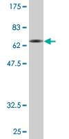 WB - SYT1 Antibody (monoclonal) (M01) AT4125a