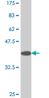 WB - TBX21 Antibody (monoclonal) (M07) AT4167a