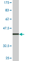 WB - TBX21 Antibody (monoclonal) (M10) AT4168a