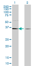 WB - TCEA1 Antibody (monoclonal) (M06) AT4175a