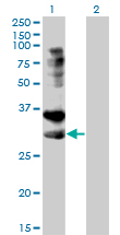 WB - TNFRSF14 Antibody (monoclonal) (M01) AT4274a