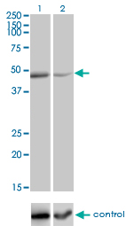 WB - TNFRSF19L Antibody (monoclonal) (M01) AT4278a