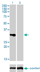 WB - TNFRSF7 Antibody (monoclonal) (M01) AT4282a