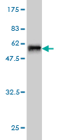 WB - TOMM34 Antibody (monoclonal) (M01) AT4303a