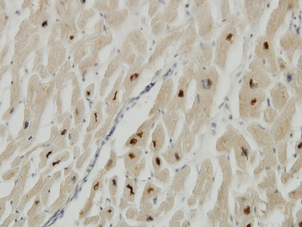 IHC - TTN Antibody (monoclonal) (M06) AT4393a
