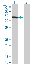 WB - WDR20 Antibody (monoclonal) (M01) AT4529a