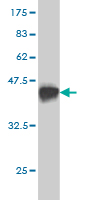 WB - WDR58 Antibody (monoclonal) (M01) AT4534a