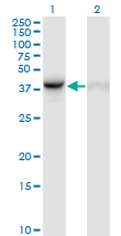 WB - WDR77 Antibody (monoclonal) (M01) AT4536a