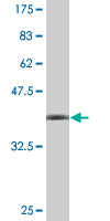 WB - WDR79 Antibody (monoclonal) (M04) AT4537a