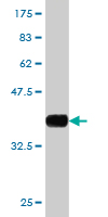 WB - WIPI1 Antibody (monoclonal) (M02) AT4539a