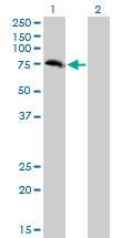 WB - ZBED1 Antibody (monoclonal) (M01) AT4568a