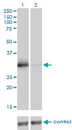 WB - ZNF174 Antibody (monoclonal) (M01) AT4592a