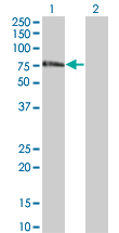 WB - ZNF18 Antibody (monoclonal) (M01) AT4593a