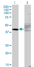 WB - ZNF193 Antibody (monoclonal) (M06) AT4595a
