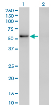 WB - ZNF207 Antibody (monoclonal) (M02) AT4598a