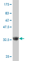 WB - ZNF207 Antibody (monoclonal) (M03) AT4599a