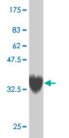 WB - ZNF207 Antibody (monoclonal) (M04) AT4600a
