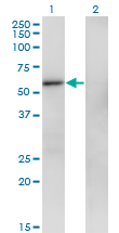 WB - ZNF207 Antibody (monoclonal) (M06) AT4602a