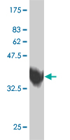 WB - ZNF207 Antibody (monoclonal) (M07) AT4603a