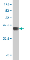 WB - ZNF21 Antibody (monoclonal) (M03) AT4606a